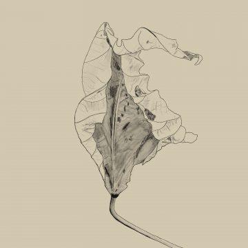 Dry Leaf Curl Drawing